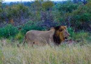 Dem Löwen auf der Spur