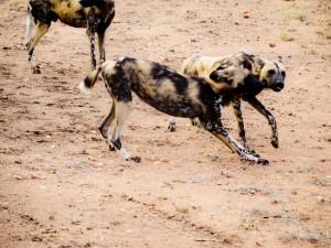 Rudel Wildhunde